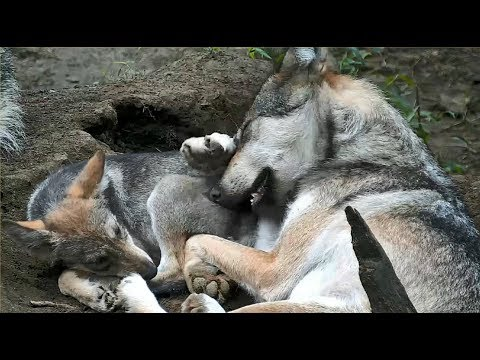 Mexican Gray Wolf Pup Cuddles With Big Sister