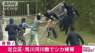 河川敷のシカ捕獲の瞬間 2日から追いかけようやく(20/06/03)