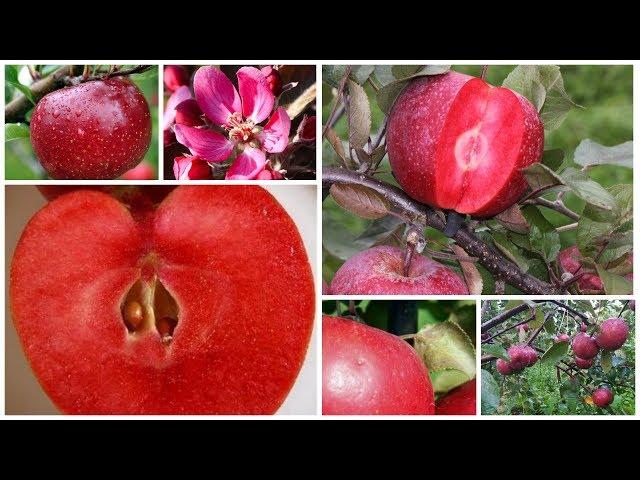 Яблоня Ред Кетти: яблоки красные снаружи и внутри!
