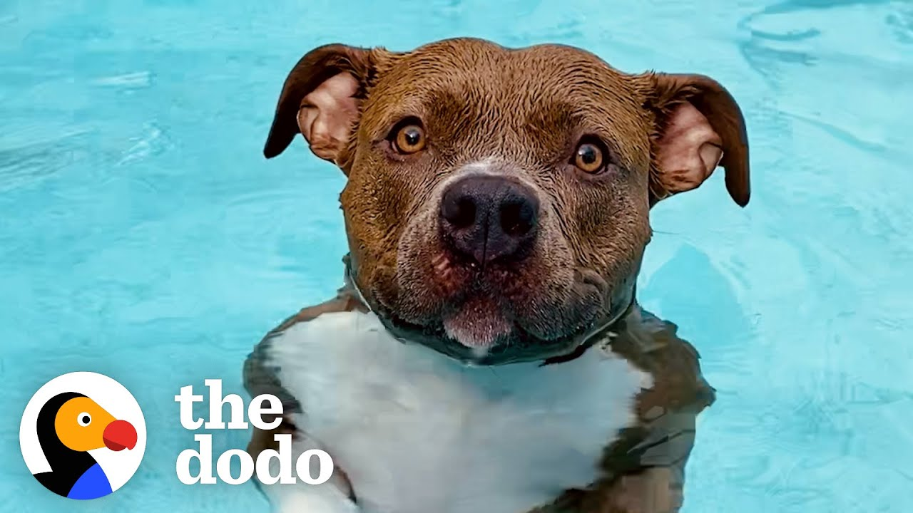 Pittie Must Be In The Pool At All Times Or Else She Gets So Sad | The Dodo Pittie Nation