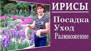 видео Ирисы - выращивание ирисов и уход за ними