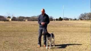 Dallas Dog Training | Baci - German Short Hair Pointer | Redeeming Dogs | Tod Mcvicker Dog Trainer