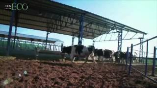 « Halib Beladi » : Centrale laitière soutient les petits éleveurs