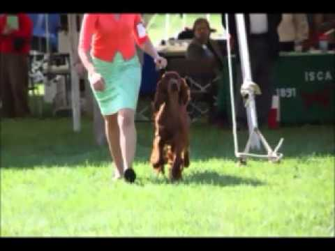 Irish Setter Tully