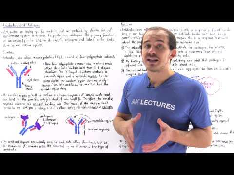 Antibodies (Immunoglobulins)