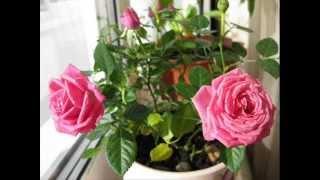 видео Как осуществляется уход за комнатной розой в домашних условиях (фото растения)?
