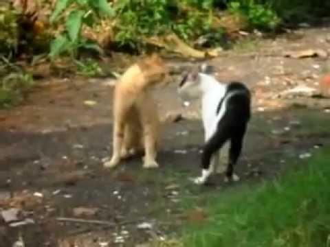 Kucing Anggora Vs Kucing Kampung Doovi