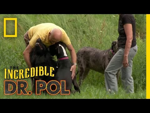 Daned If You Do, Daned If You Don't  The Incredible Dr. Pol