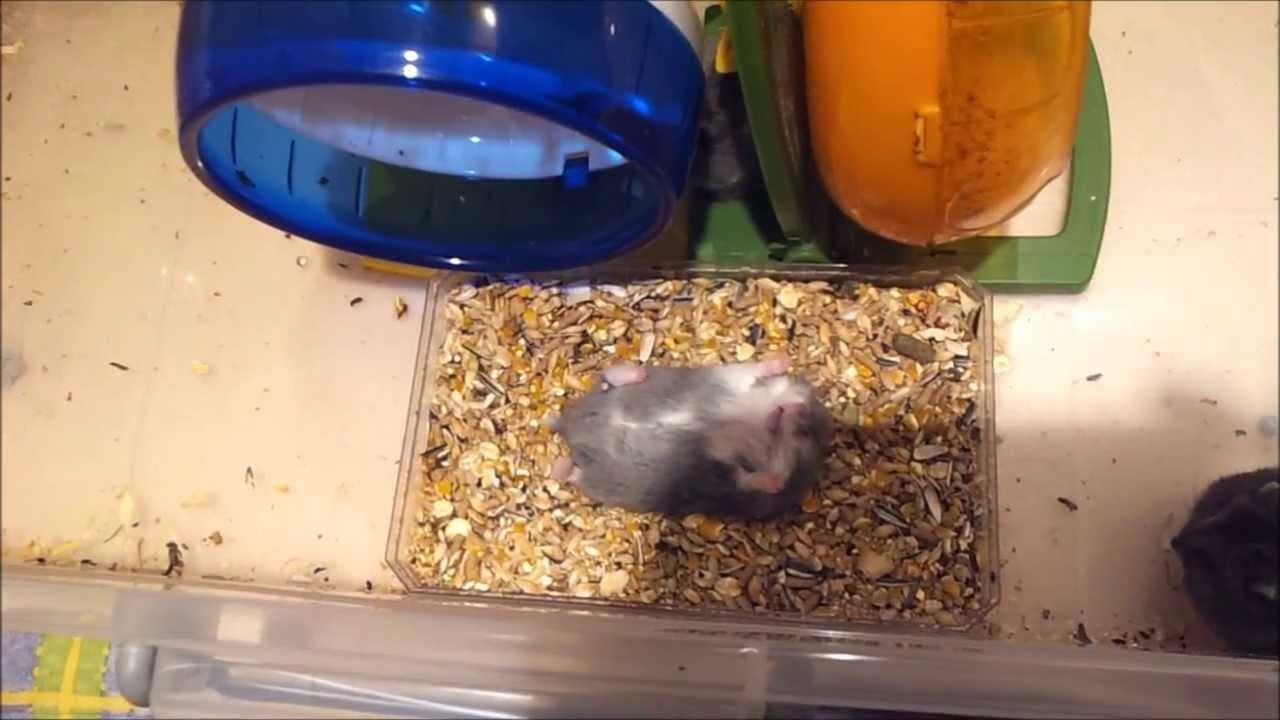 倉鼠 翻肚失敗(不是每隻都脾氣好.可以給你亂翻的) - YouTube