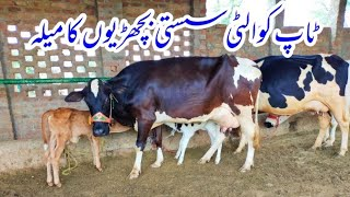 6 top quality cows available f…