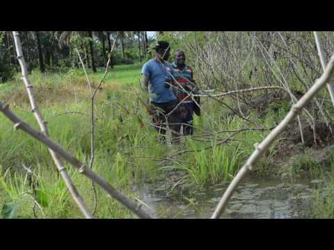 Rice farming in