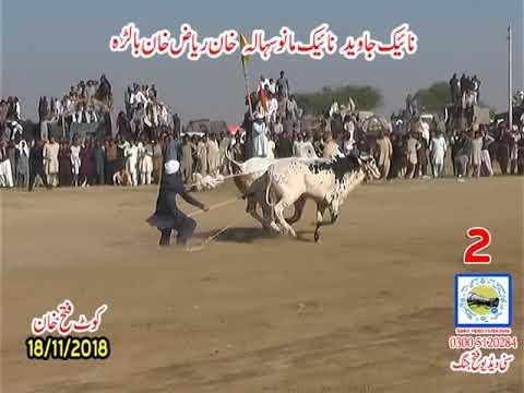 Bul Race In Pakistan Sunny Video Fateh Jang 18 11 2018 NO2