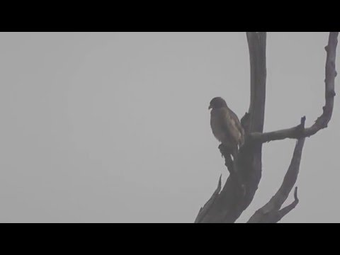 Crested Serpent Eagle 2