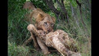 Southern Pride on a giraffe kill