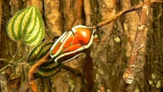 Dicronorrhina derbyana layardi