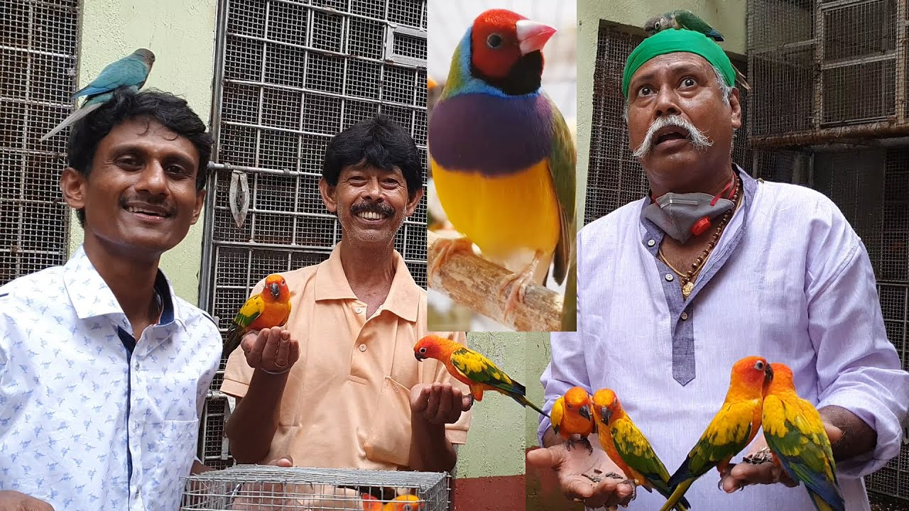 Gouldian Finches 100% Breeding Success Tips / Gouldian Finches Can Give You Lakh Of Rupees & Gold.