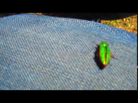 Beautiful Jewel Beetle