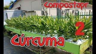 Como crecer Curcuma / Tumeric en el Huerto 2/2