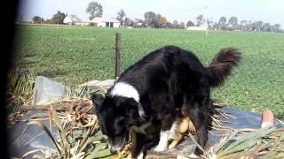 Jak Psy się zabawiają ( 2 samce)