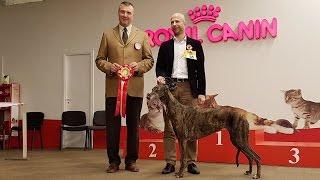 ГРЕЙХАУНДЫ. Выставка борзых. Весна 2016 |  GREYHOUNDS. Sighthound dog show. Spring 2016