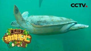 [正大综艺·动物来啦]给海龟做B超主要为了排查哪种疾病隐患| CCTV