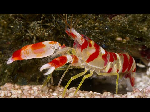 Candy Cane Shrimp - Animal Of The Week