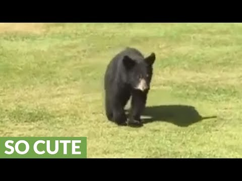 Wild bear cub gives golfer a loving hug