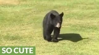 Wild bear cub gives golfer a loving hug thumbnail