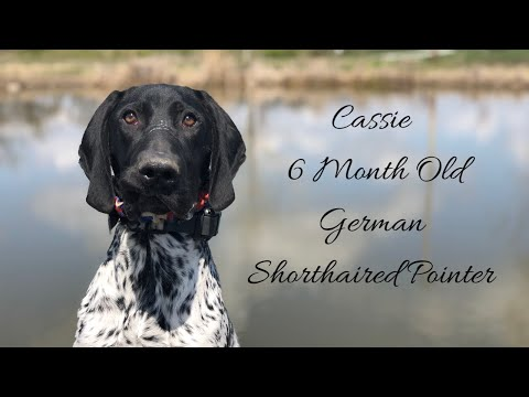 Cassie | 6 Month Old German Shorthaired Pointer | Distraction Training | Off Leash K9 Training