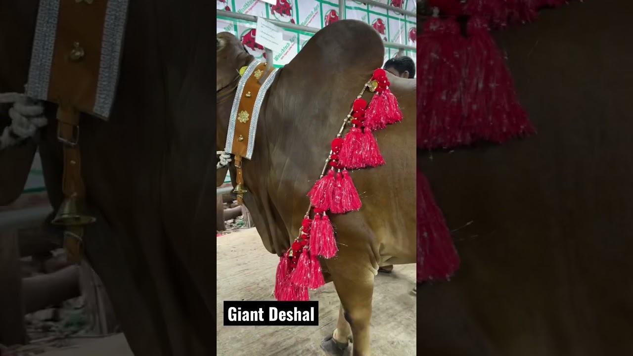 Biggest Shahiwal Bull of Bangladesh
