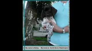 German Shorthaired Pointer Puppies (2011 Mickey Stormy Litter,pup Slideshow)
