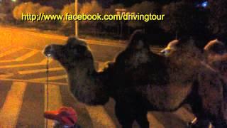 キャメルの散歩 Walking with Camel 放駱駝 In Dunhuang people are wal...