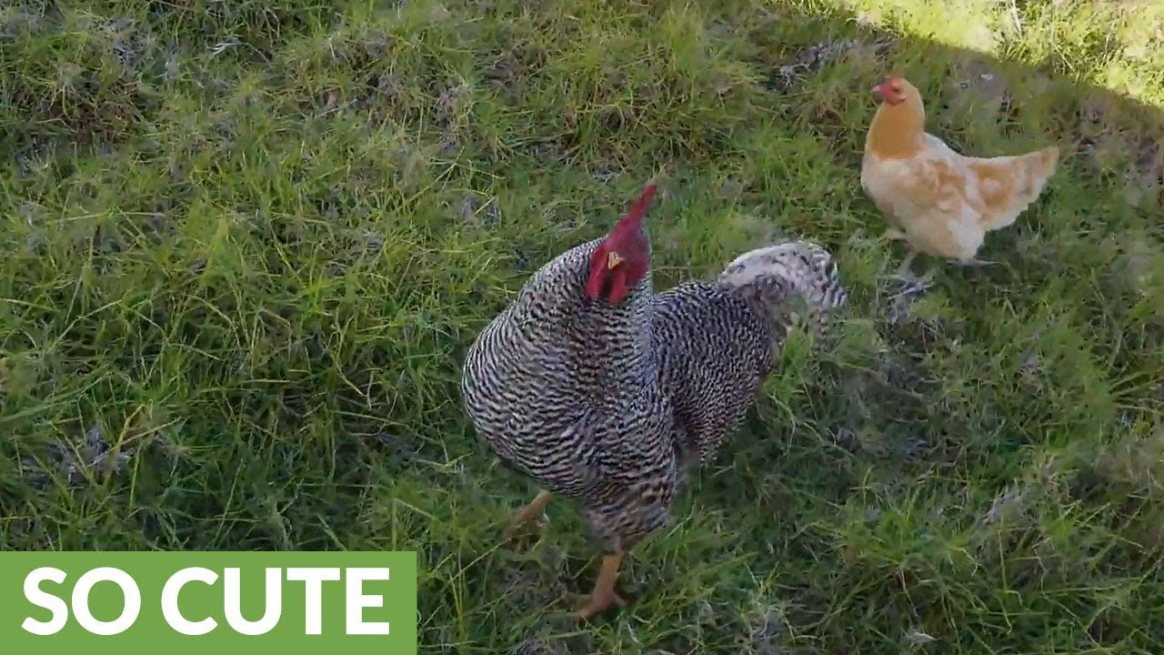 Chickens do not rush, what to do Why do not rush chickens in summer What to do 57