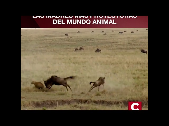 IMPACTANTE VIDEO! Mira el instinto maternal en los animales