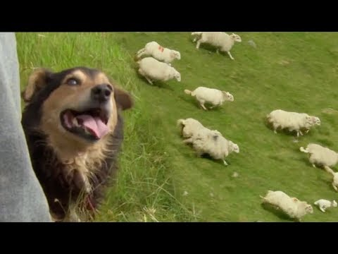 The Amazing Rituals Of The Welsh Shepherd Dogs | BBC Earth
