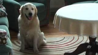 Golden retriever Hacker - opanowanie emocji Video