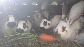 Marchew dla królików :D