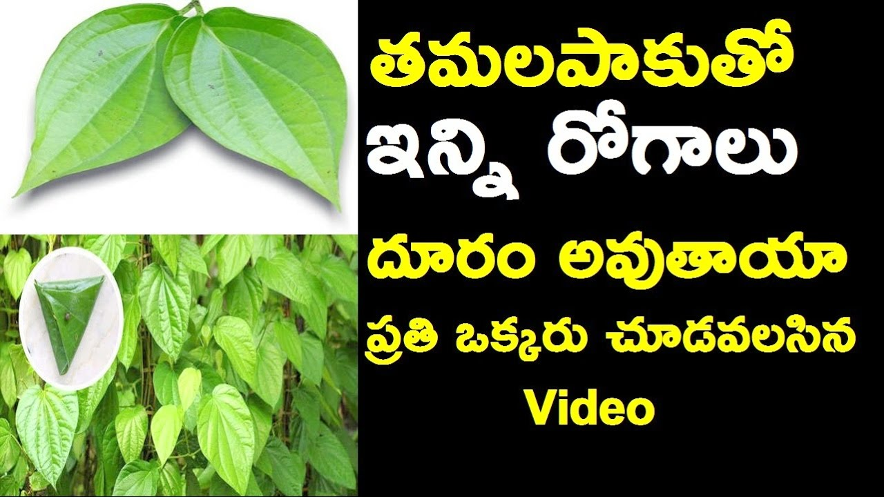 23 Amazing Medicinal Uses Of Betel Leaf (Paan Ka Patta) pictures