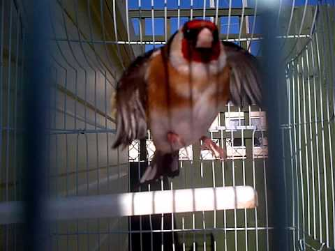 Gold finch switty bird singing