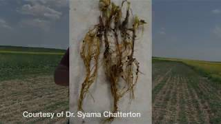 Pulse School: Fusarium doesn't just impact your wheat crops
