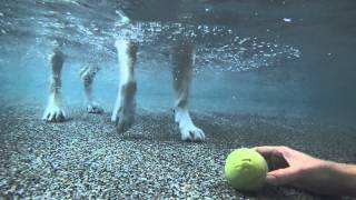 Labrador Retriever Beagle Mix Learning To Dive Underwater In Swimming Pool