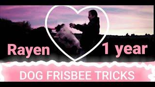 Dog frisbee tricks by papillon Rayen 1year