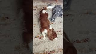 Собака танцует НИЖНИЙ БРЕЙК! Прикольное видео! Ричик как всегда смешной! :)