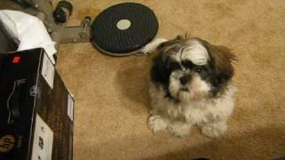 "Shih Tzu RahJah attempts to say  ""Mama"""