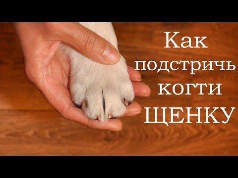 Как стричь когти щенку