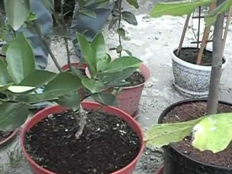 Пассифлора уход и выращивание