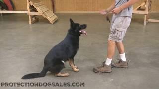 Amazing Patton Von Prufenpuden 1 & Half Year Old Bi-Black German Shepherd Male
