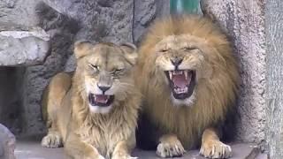 円山動物園のライオン、リッキー(9歳)とティモン(15歳)。 姉さん女房と...