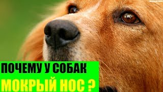 почему у собак холодный и мокрый нос?