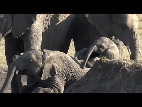 SafariLive Dec 12 - Little baby Elephant having fun.